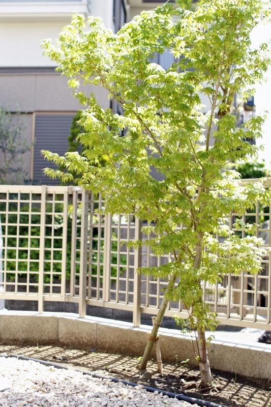 新築の記念樹で紅葉を植えました。これからお子様と一緒に成長していきます。